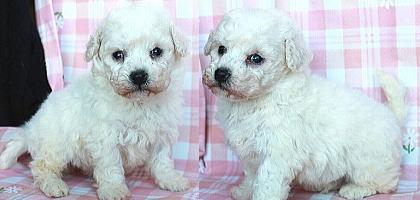 子犬ID:20200217003画像