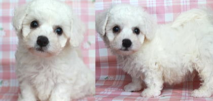 子犬ID:20200217001画像